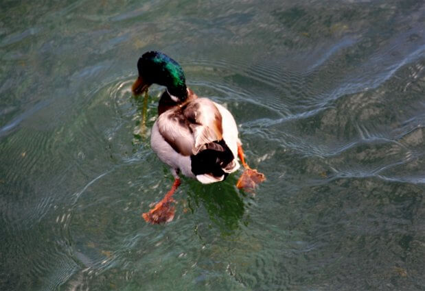 Photo of a Mallard Duck at Mackinaw Mill Creek Camping in Mackinaw City, MI. © 2016 Frank Rogala.