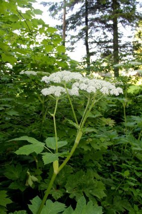 Photo of Queen Anne's Lace on a foot trail at Mackinaw Mill Creek Camping in Mackinaw City, MI. © 2016 Frank Rogala.