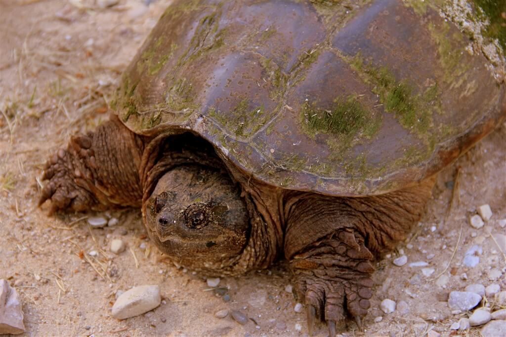 Photo of a snapping turtle at Mackinaw Mill Creek Camping in Mackinaw City, MI. © 2016 Frank Rogala.