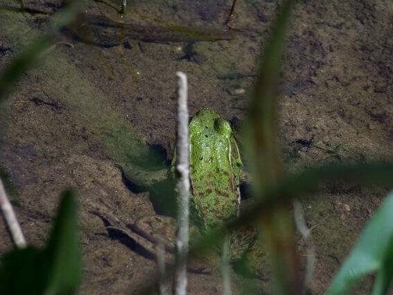 Photo of a frog in the wetlands of Mackinaw Mill Creek Camping in Mackinaw City, MI. © 2016 Frank Rogala.