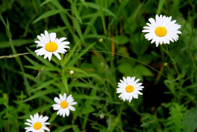 Photo of wild white daisies, close-up, at Mackinaw Mill Creek Camping in Mackinaw City, MI. © 2016 Frank Rogala.
