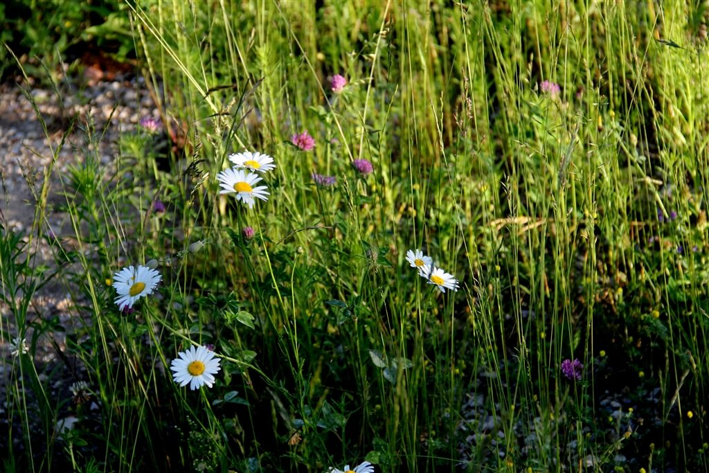 Photo of wild white daisies on a foot trail at Mackinaw Mill Creek Camping in Mackinaw City, MI. © 2016 Frank Rogala.