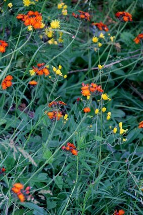 Photo of orange and yellow wildflowers at Mackinaw Mill Creek Camping in Mackinaw City, MI. © 2016 Frank Rogala.