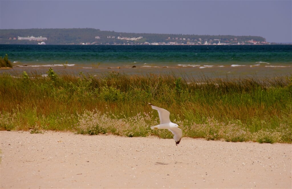 Photo of a gull in flight over the sandy beaches at Mackinaw Mill Creek Camping in Mackinaw City, MI. © 2016 Frank Rogala.