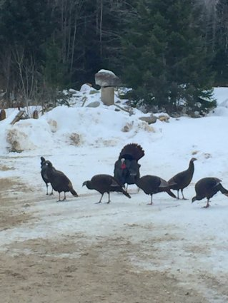 Photo of wild turkeys Mackinaw Mill Creek Camping