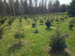 New planting of trees at Mackinaw Mill Creek Camping. Copyright (©) 2014 Mackinaw Mill Creek Camping and Frank Rogala. All rights reserved.